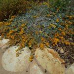 Acmispon agrophyllus var argenteus - Channel Island silver lotus
