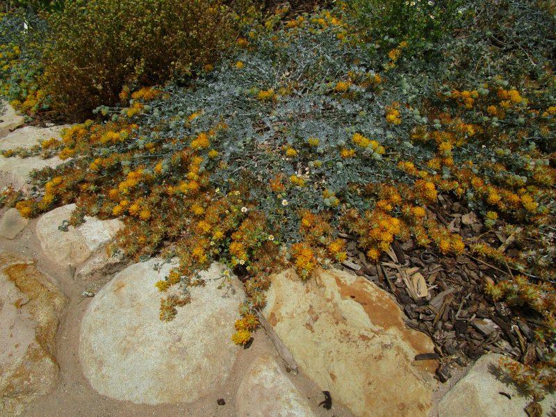Acmispon argophyllus var argenteus - Channel Island silver lotus