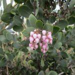 Arctostaphylos manzanita - Common manzanita