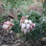 Arctostaphylos auriculata - Mount Diablo manzanita