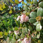 Arctostaphylos edmundsii 'Rosy dawn' - Little sur manzanita 'Rosy dawn'