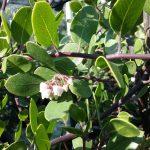 Arctostaphylos hookeri 'Wayside' - 'Wayside' Hooker's manzanita