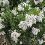 Arctostaphylos refugioensis - Refugio manzanita