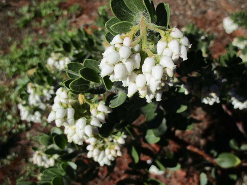 Arctostaphylos viridissima 'white cloud' - 'white cloud' Santa Cruz Island manzanita