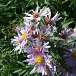Aster (Symphyotrichum) chilensis 'Purple haze' - 'Purple Haze' California aster