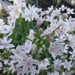Allium hyalinum - Glassy onion