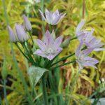 Allium unifolium - One leaf onion