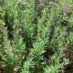 Artemisia douglasiana - Douglas' mugwort