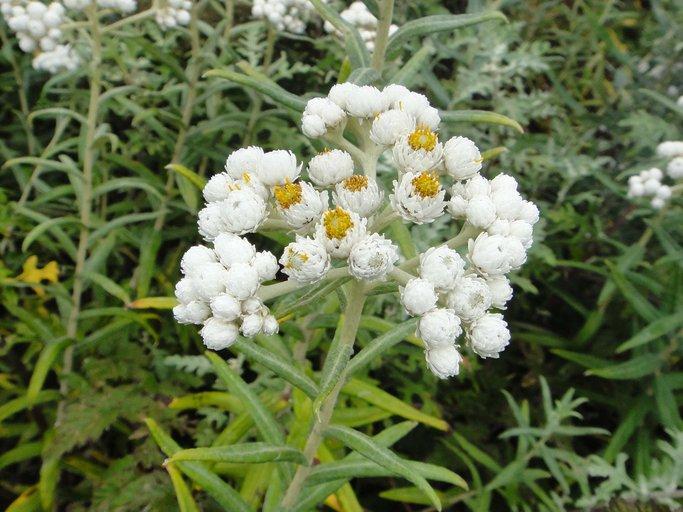 Anaphalis margaritacea - Pearly Everelasting